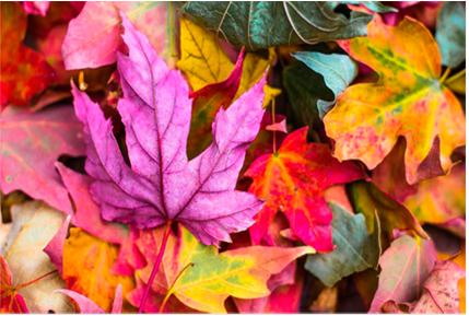 рассмотрим смену цвета осенних листьев